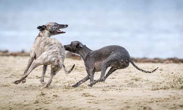 Lurcher behaviour 5