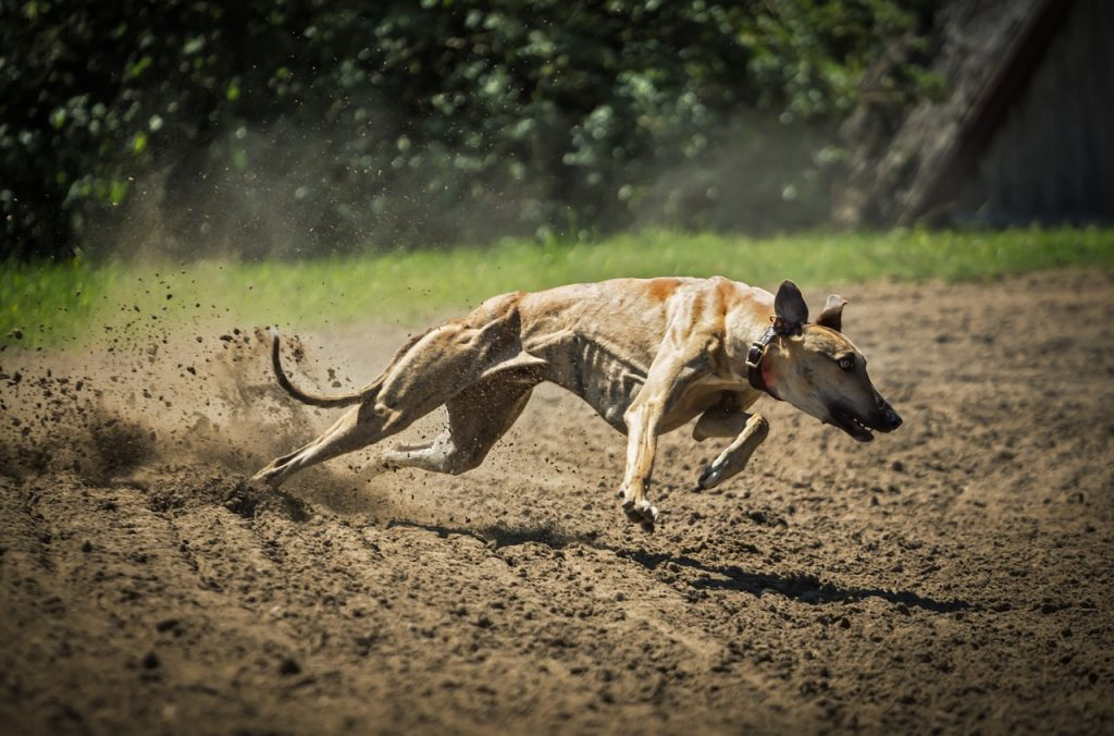 Lurcher behaviour - Hunting