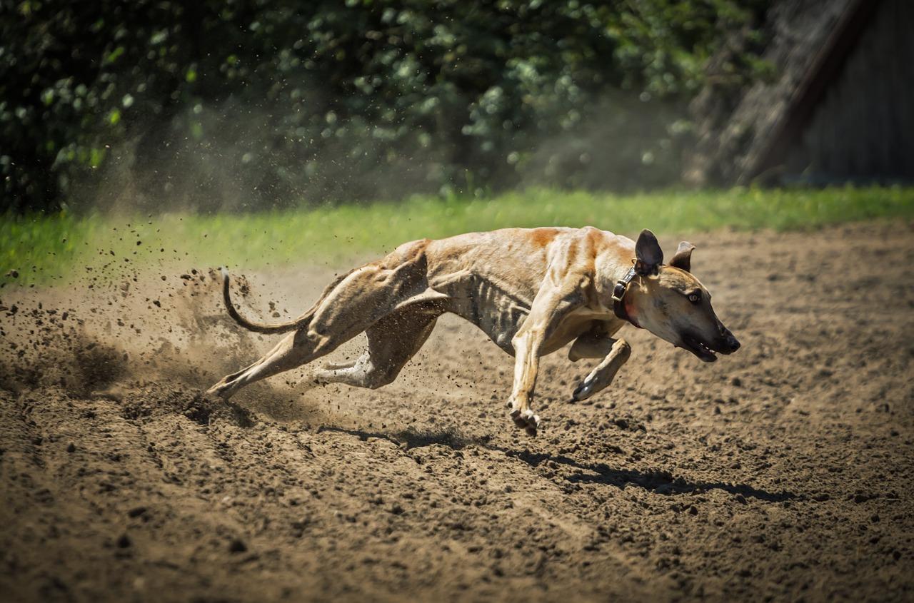 Lurcher Hunting
