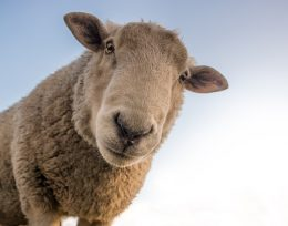 lurcher training sheep
